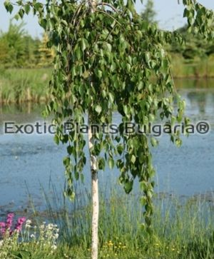 Betula utilis Long Trunk - 7 ltr. 180 + cm