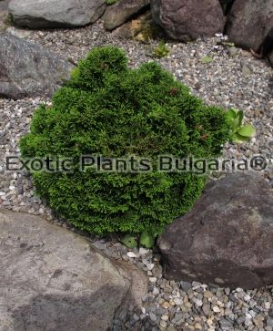 Hinoki cypress 'Nana Gracilis - ball' - 3 ltr.