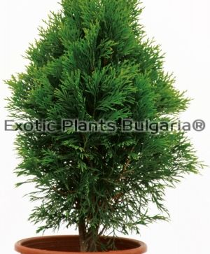 "Thuja ""Emerald Green"" - 3 ltr"