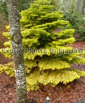 ABIES nordmanniana Golden spreader