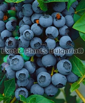 Blueberry Blue Jay - 2 ltr