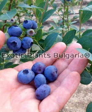 Blueberry JERSEY - 2 ltr