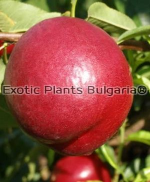 Nectarine BIG BANG® Maillara*