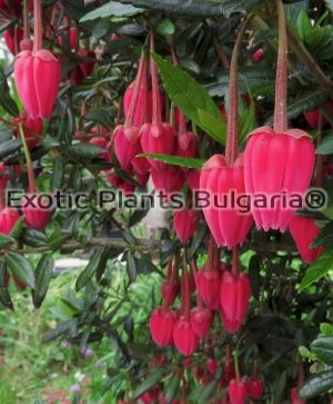 Chile lantern tree - 2 ltr.