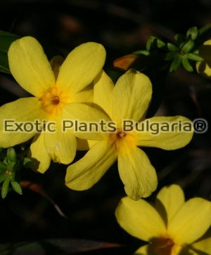 Jasminum nudiflorum 2 ltr