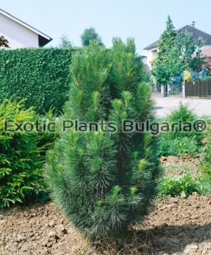 PINUS austriaca Green tower - 2 ltr.