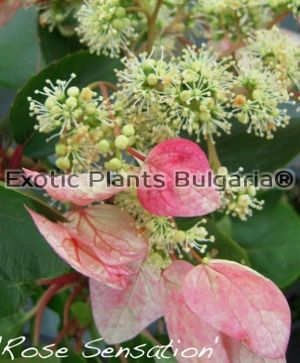 Schizophragma Rose Sensation - 2 ltr.