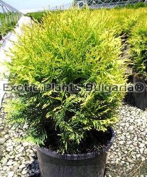 Thuja occidentalis Globosa green form - 3 ltr