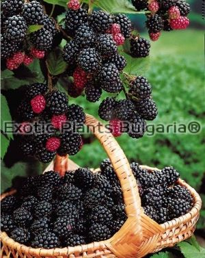 Blackberry Dirksen