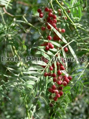 Schinus molle - Pepper tree - 300/350