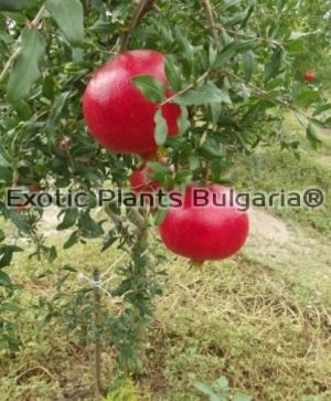 "Punica Granatum ""Wonderful""  200/220cm"