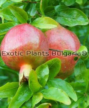 "Punica granatum ""Fina Tendral"" -3 ltr."