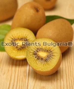 ACTINIDIA chinensis AIR GOLD - 2 ltr ( женско киви с жълта плът )