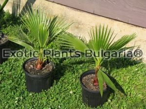 Washingtonia filifera 3 ltr pots