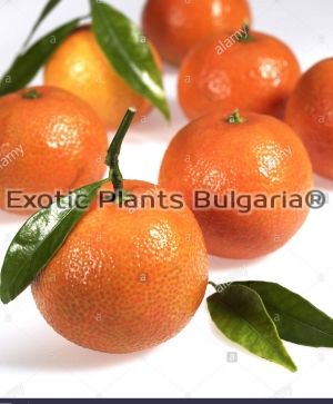 Citrus Kumquat + Mandarine Chios ( 2in1)