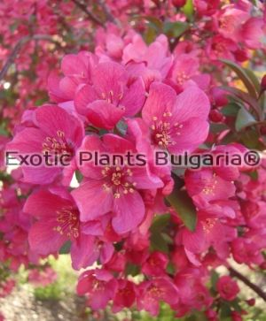 Crab Apple COCCINELLA® 'Courtarou' - 5 ltr / 150+ cm