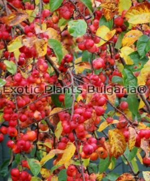 Crab Apple Evereste - 3 ltr / 120/150 + cm