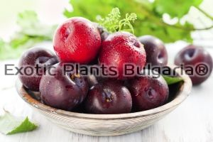 Pluot - PC® Plumogranate Plumcot - 4,5 ltr pots
