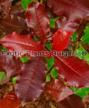 Photinia x fraseri Magical Volcano® - 2 ltr