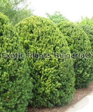 Taxus x media 'Hicksii' -220+ cm