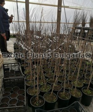 Asimina triloba Wells Delight- grafting plants - Bare root