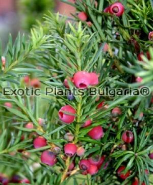 TAXUS x media Strait Hedge - 3 ltr