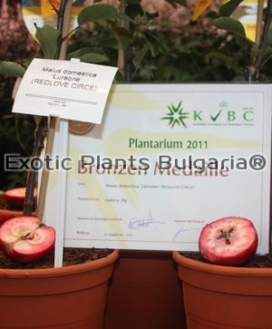 Apple Redlove® Circe® - bare root