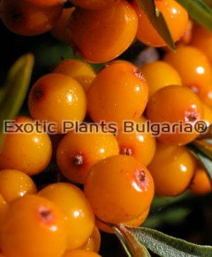 Sea Buckthorn - 'Pollmix' - male - 80 cm