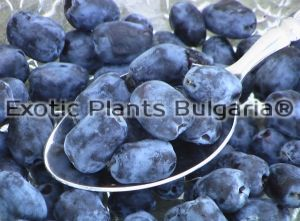 "Honeyberry Cultivation ""Morena"""