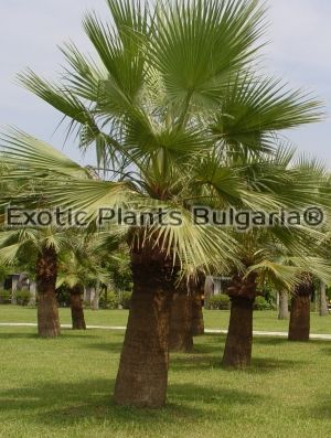 Washingtonia filifera 150 pcs. pack