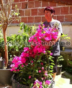 Bougainvillea Red - 3lit pots high- 80-100cm