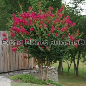 Lagerstroemia Indica Dallas Red (Tonto) - 4,5 ltr. pots. - 100/120