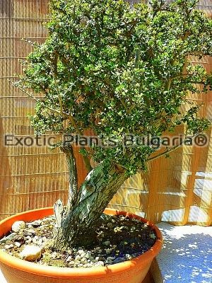 Olea Sylvestris - Old Tree Bonsai