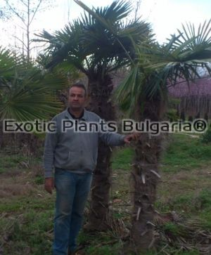 Trachycarpus fortunei - big trunk - 1 - 2,5 м