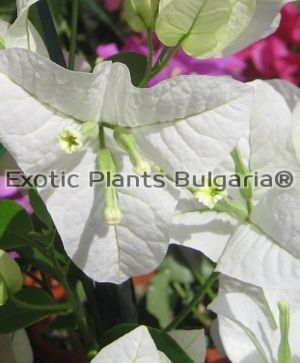Bougainvillea Singapore White - 150/160