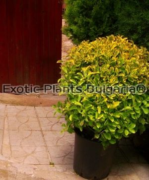 Euonymus Golden Ball