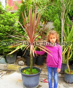 Cordyline Australis Atropurpurea - big tree