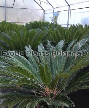 Sago Palm, Cycas revoluta big tree