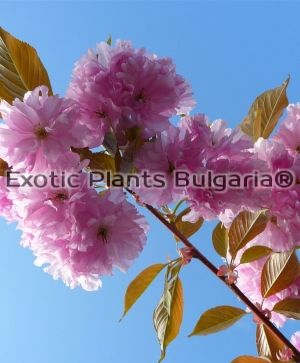 Prunus 'Kanzan' - 35 ltr.pot