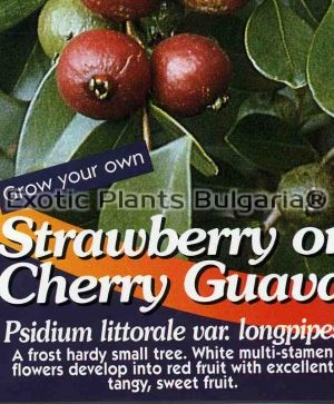 Strawberry Guava - 7C - 1.2 ltr pots