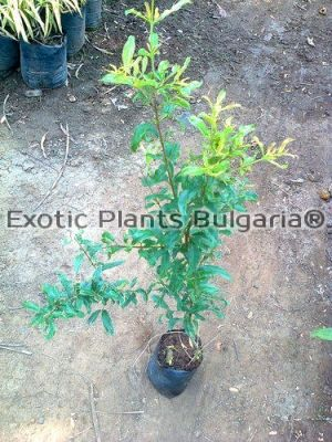 "Punica Granatum ""Angel Red"""