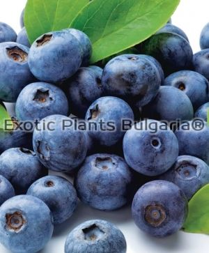 Blueberry Northblue