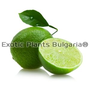 Citrus Key Lime - 7.5 ltr.pots