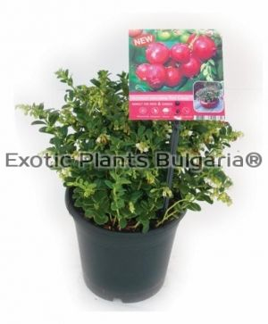 "Lingonberry ""Red Pearl"" - 2 ltr"