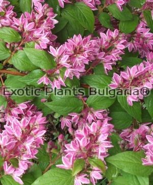 DEUTZIA Tourbillon rouge - 3 ltr
