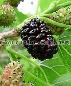Persian Fruiting Mulberry - 3 ltr.