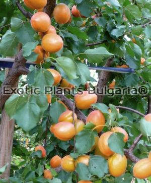 Apricot Wonder COT ® Bare root