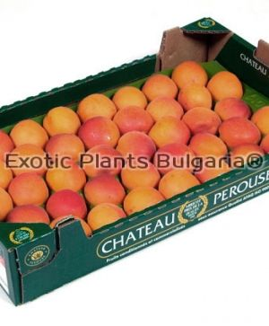 Apricot  LILY COT ®