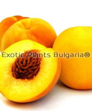 Peach Cling CATHERINA ®