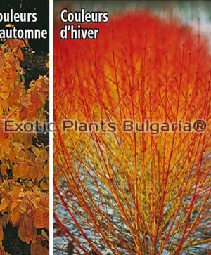 CORNUS sanguinea Midwinter fire - 2 ltr